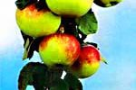 Apple-tree. Almaty pictures