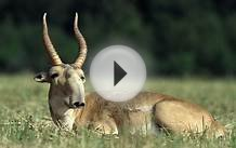 Half of an Endangered Antelope Population Has Died Within